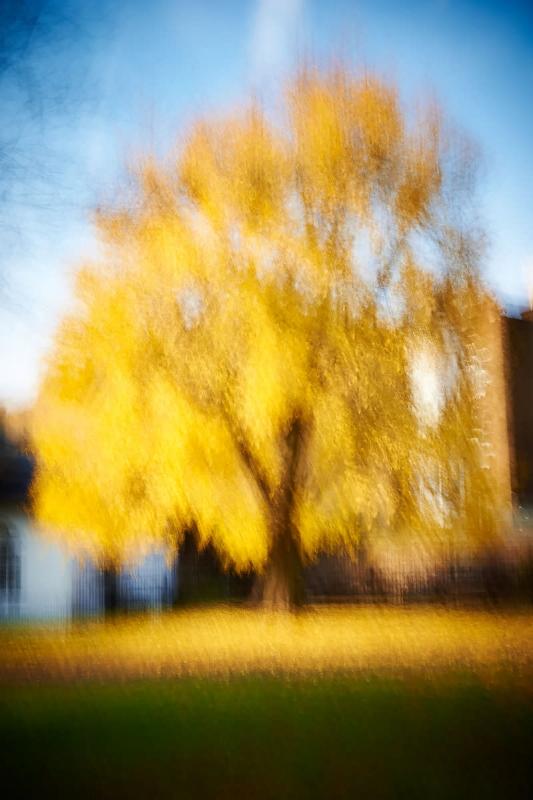 Golden Tree - Greenwich Park