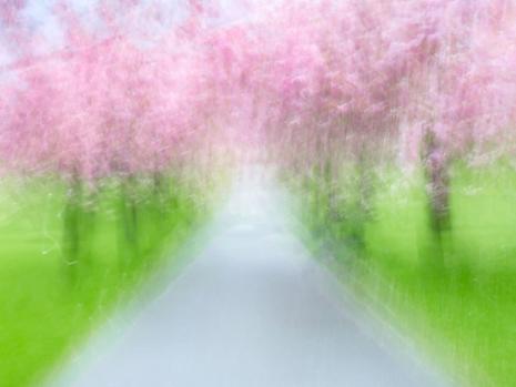 Greenwich Park Blossom