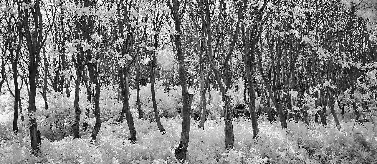 Infra Red Trees