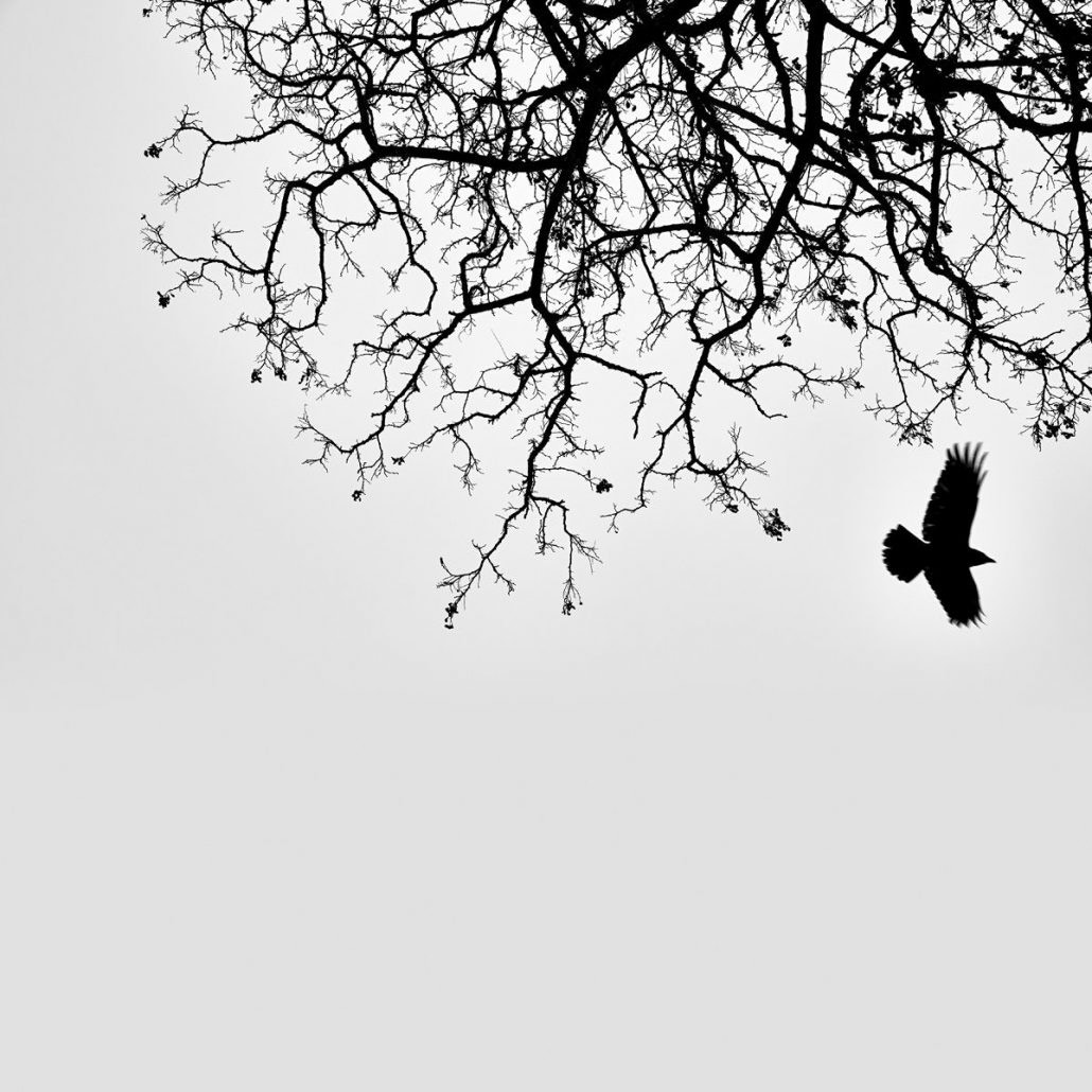 Greenwich Park Crow