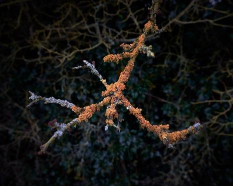 Lichen Coral