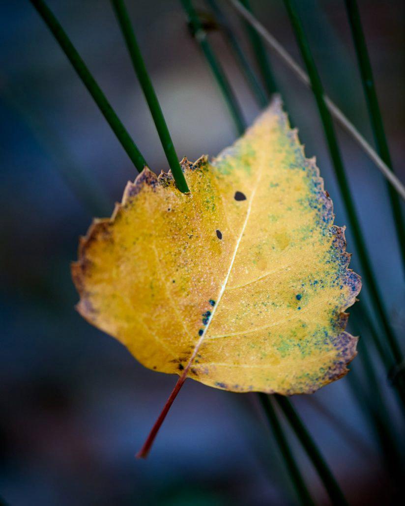 Speared Leaf